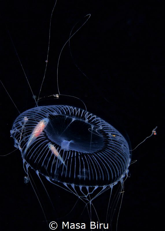 2 finish at home in a jelly fish by Masa Biru