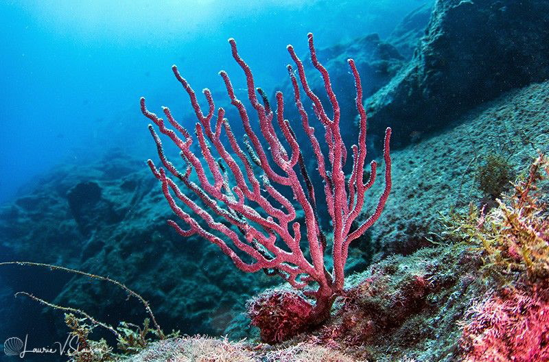 Coral at San Pedro Nolasco/Photographed with a Tokina 10-... by Laurie Slawson