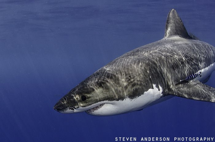 Great Whites Shark makes a pass as it's interest increase... by Steven Anderson