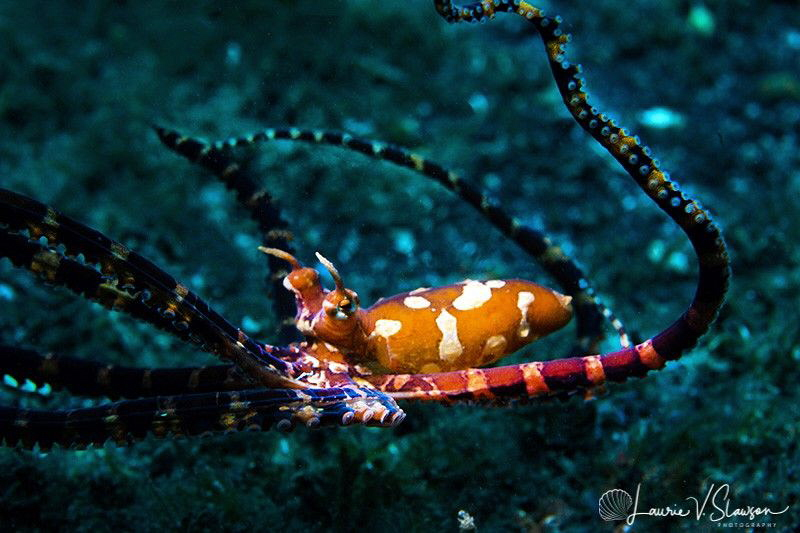 Wonderpus/Photographed with a Canon 60 mm macro lens and ... by Laurie Slawson