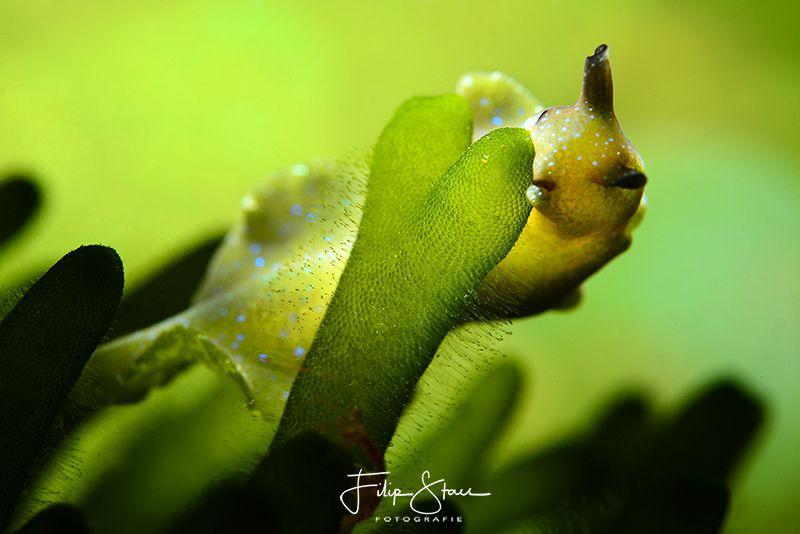 Sap-sucking slug (Elysia viridis), Lake Grevelingen, Zeel... by Filip Staes