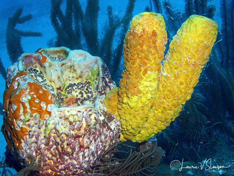 Yellow Sponges/Photographed with a Canon G11 at Belize. by Laurie Slawson