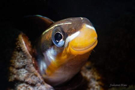 Smile (Fangblenny) by Julian Hsu