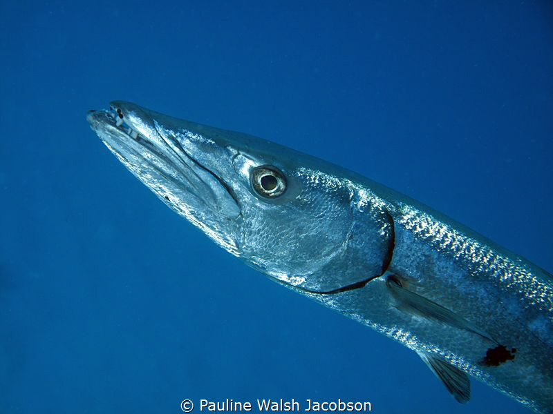 Great Barracuda, Congo Cay, U.S. Virgin Islands by Pauline Walsh Jacobson