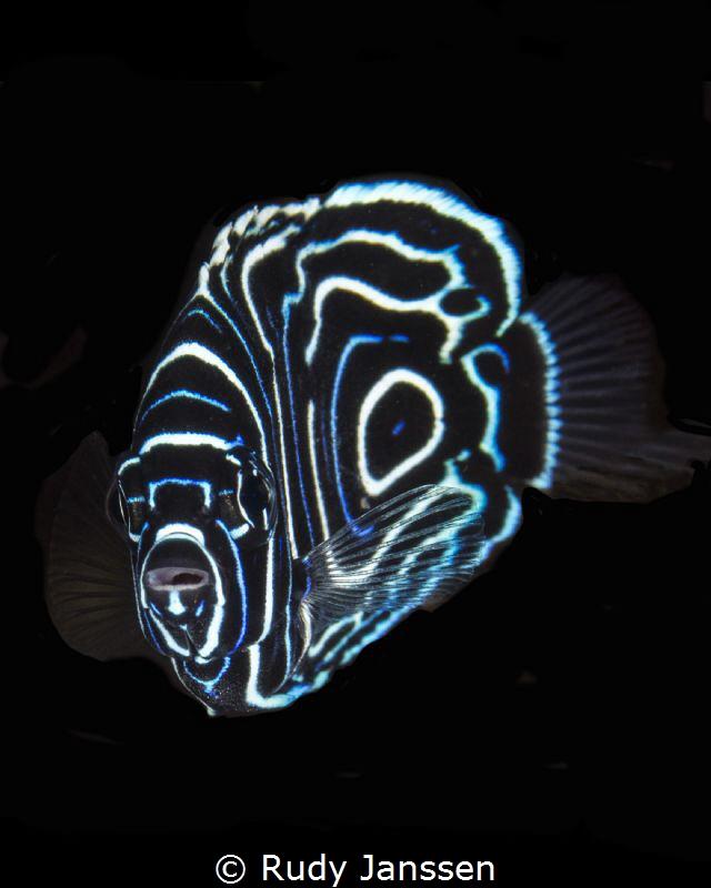 Juvenile angelfish  by Rudy Janssen
