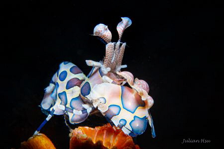 Harlequin Shrimp by Julian Hsu