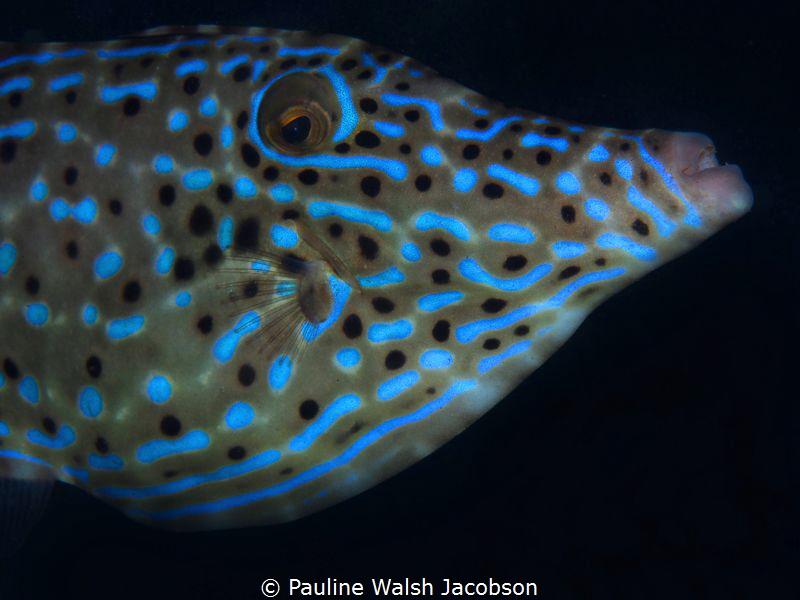 Scrawled Filefish, Aluterus scriptus, Blue Heron Bridge, ... by Pauline Walsh Jacobson