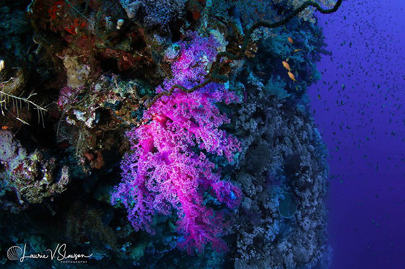 Purple Coral/Photographed with a Tokina 10-17 mm fisheye ... by Laurie Slawson