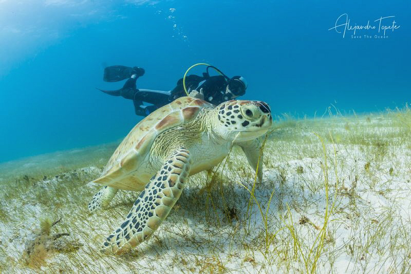 Turtle with Diver, Cancun México by Alejandro Topete