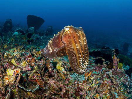Doyen  Reef Cuttlefish - Sepia latimanus  Bali, Indon... by Stefan Follows