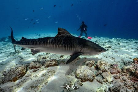 Tiger shark is an awesome creature. You can easily tell t... by Qunyi Zhang