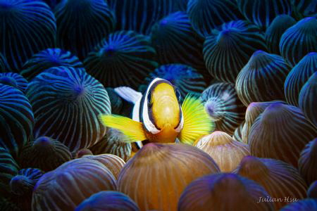 Juvenile Anemonefish by Julian Hsu