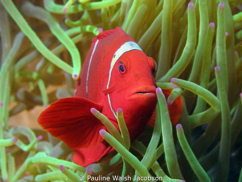 Spinecheek Anemonefish, Premnas biaculeatus, Wakatobi Mar... by Pauline Walsh Jacobson