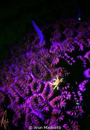 Small crab among coral polyps under UV by Arun Madisetti