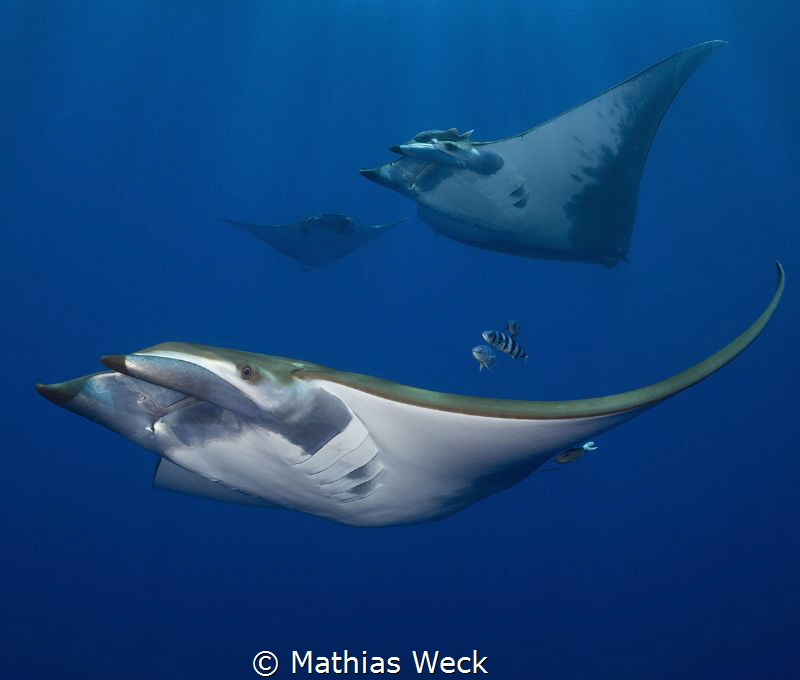 Manta Rays at the Azores by Mathias Weck