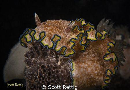 Glossadoris cincta with eggs on a black sponge.  Guam by Scott Rettig
