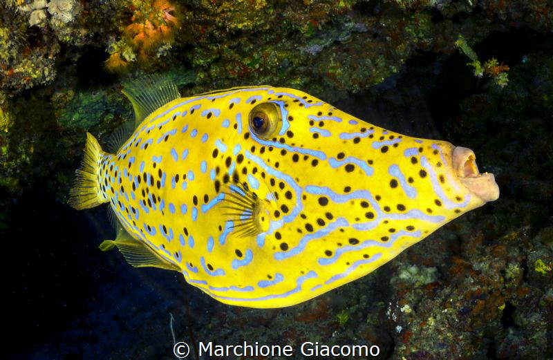 File fish. Night dive  Dharavandhoo divers 