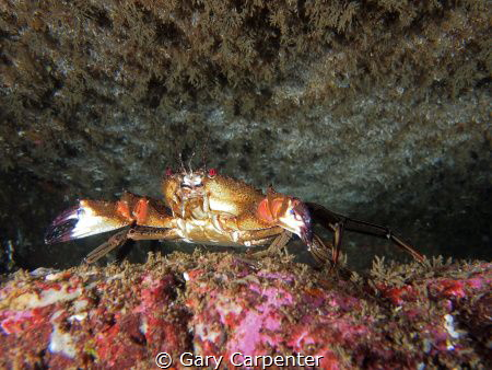 Velvet swimming crab (Necora puber) - Picture taken in Ke... by Gary Carpenter