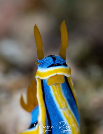 Who said that.... Chromodoris Annae by Morgan Riggs