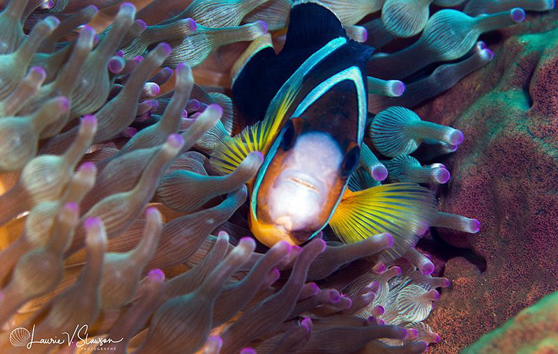 Clark's Anemonefish/Photographed with a Canon 100 mm macr... by Laurie Slawson