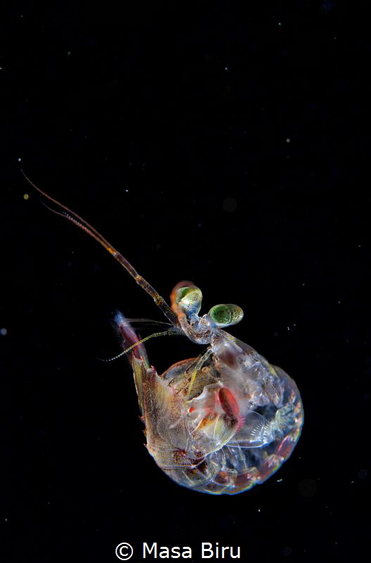 a baby  mantis shrimp by Masa Biru