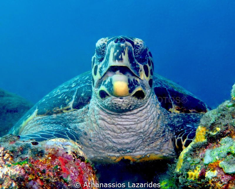 Turtle eating its lunch. Tulamben Bali. by Athanassios Lazarides