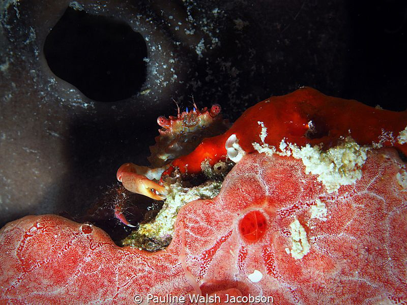 Red-Ridged Clinging Crab, Mithraculus forceps, Mingo Cay,... by Pauline Walsh Jacobson