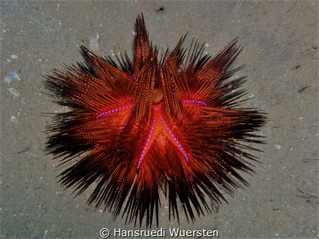 Urchin have light by Hansruedi Wuersten