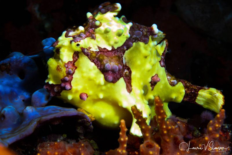 Painted frogfish/Photographed with a 60 mm macro lens at ... by Laurie Slawson