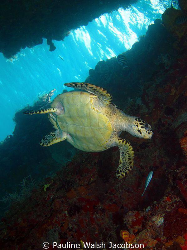 Juvenile Hawksbill Sea Turtle, Eretmochelys imbricata, Fr... by Pauline Walsh Jacobson