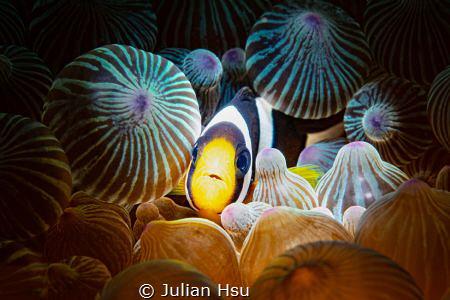 Juvenile Anemonefish by Julian Hsu