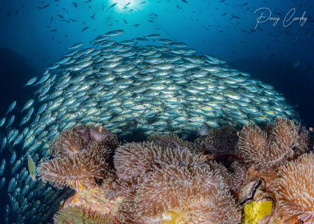 A huge school of scads at chumphon pinnacle, Koh tao, Tha... by Perry Comley