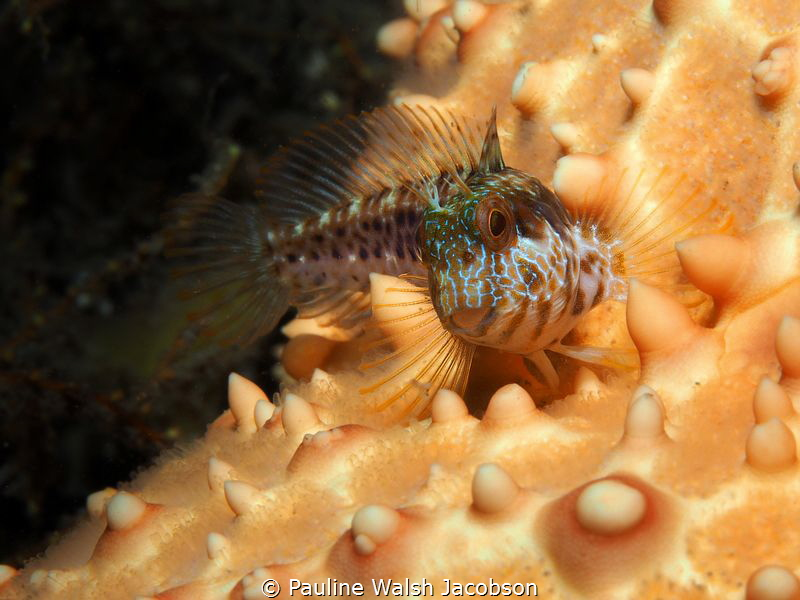 Seaweed Blenny on Cushion Sea Star, Blue Heron Bridge, Fl... by Pauline Walsh Jacobson