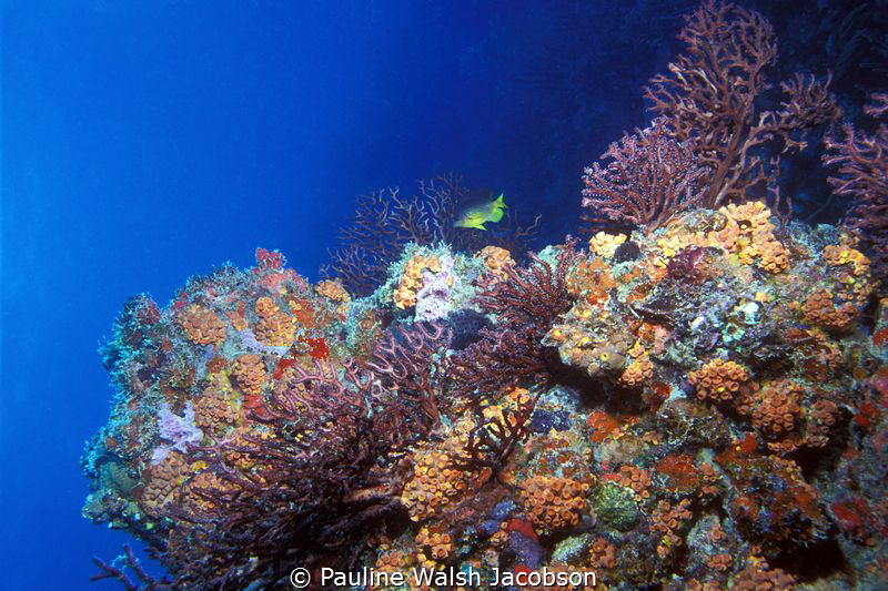 Coral Reef, Congo Cay, U.S. Virgin Islands by Pauline Walsh Jacobson