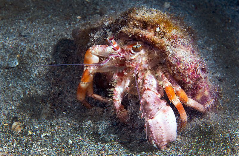 Hermit Crab/Photographed with a 60 mm macro lens at Anila... by Laurie Slawson