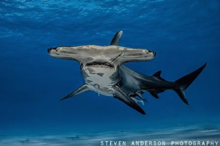 The Great Hammerhead Shark is an amazing shark and unfort... by Steven Anderson