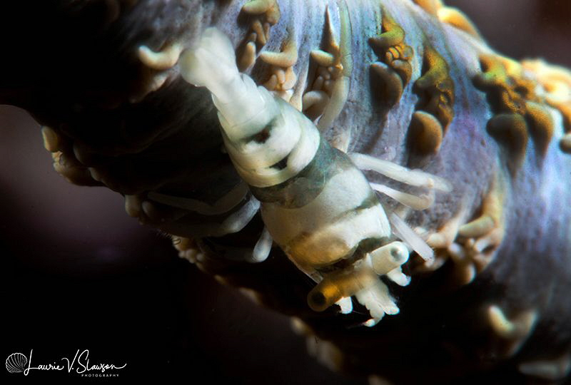 Whip Coral Shrimp/Photographed with a Canon 60 mm macro l... by Laurie Slawson