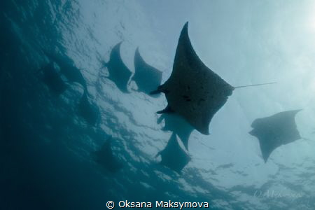 Manta rays, passing in surface. by Oksana Maksymova