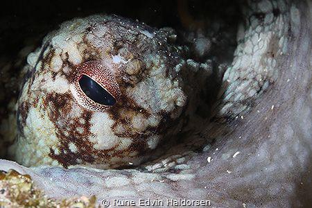 Common octopus by Rune Edvin Haldorsen
