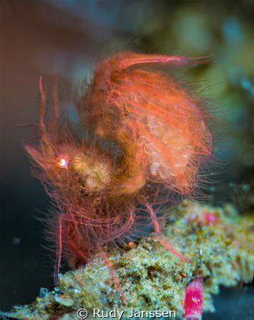 Hairy shrimp with eggs by Rudy Janssen