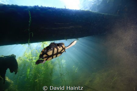 Sun Rays, turtle swimming by in a freshwater hole. by David Haintz