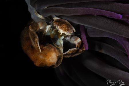 Porcelain Crab in the shadows by Morgan Riggs