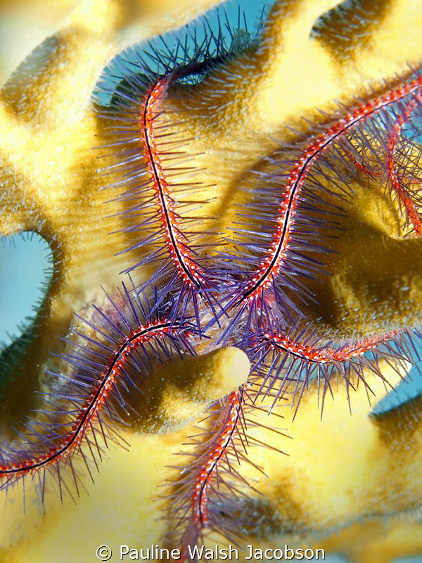 Brittle Star on Fire Coral, Stevens Cay, U.S. Virgin Islands by Pauline Walsh Jacobson