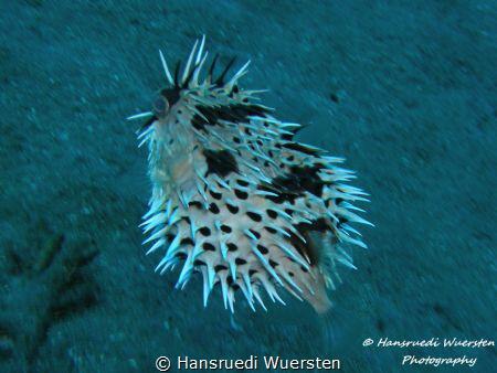Freckled Porcupinefish have fight before by Hansruedi Wuersten