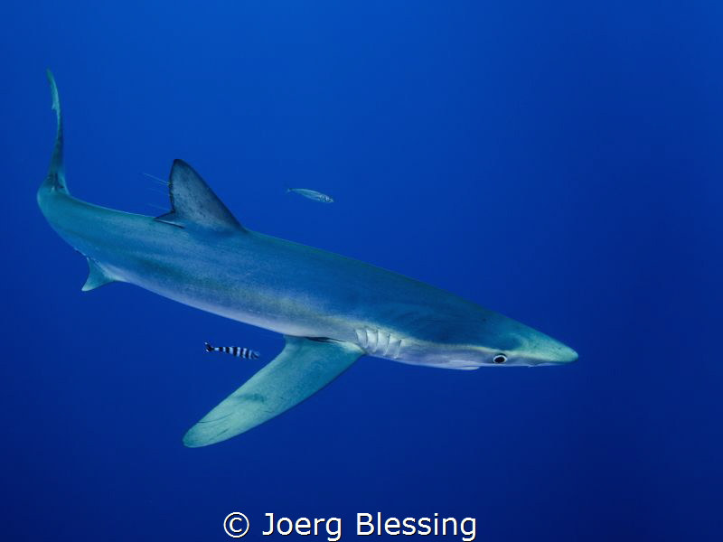Blue shark off Faial, Azores. by Joerg Blessing