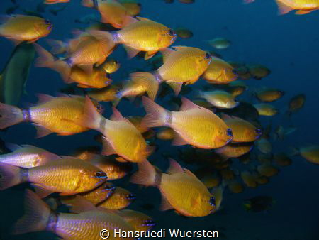 Ring-Tailed Cardinalfishes by Hansruedi Wuersten