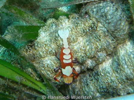 Emperor Shrimps - Zenopontonia rex by Hansruedi Wuersten