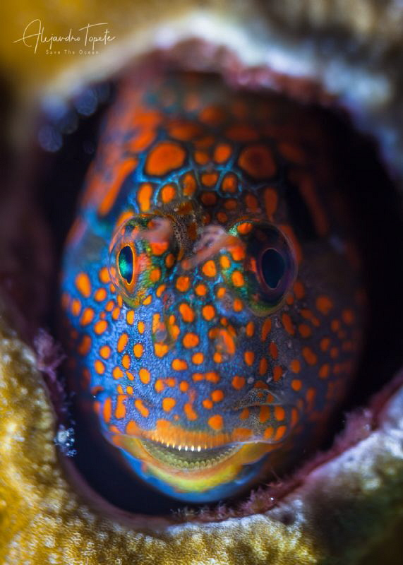 Tessellated Blenny close up, Plataforma Tiburón México by Alejandro Topete