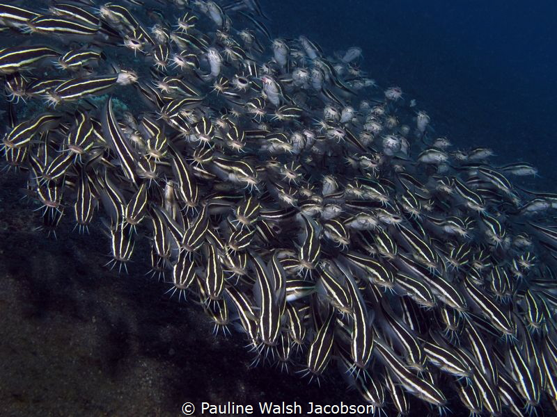 Schooling Striped Catfish, Plotosus lineatus, Tandurusa, ... by Pauline Walsh Jacobson