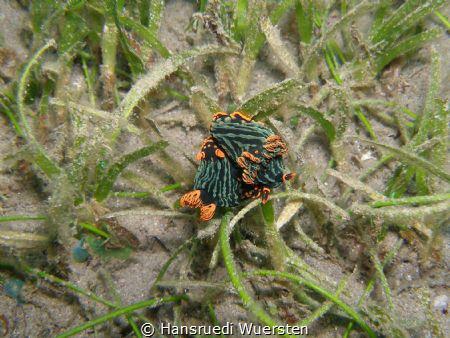 Mating nudibranchs - Nembrotha kubaryana by Hansruedi Wuersten
